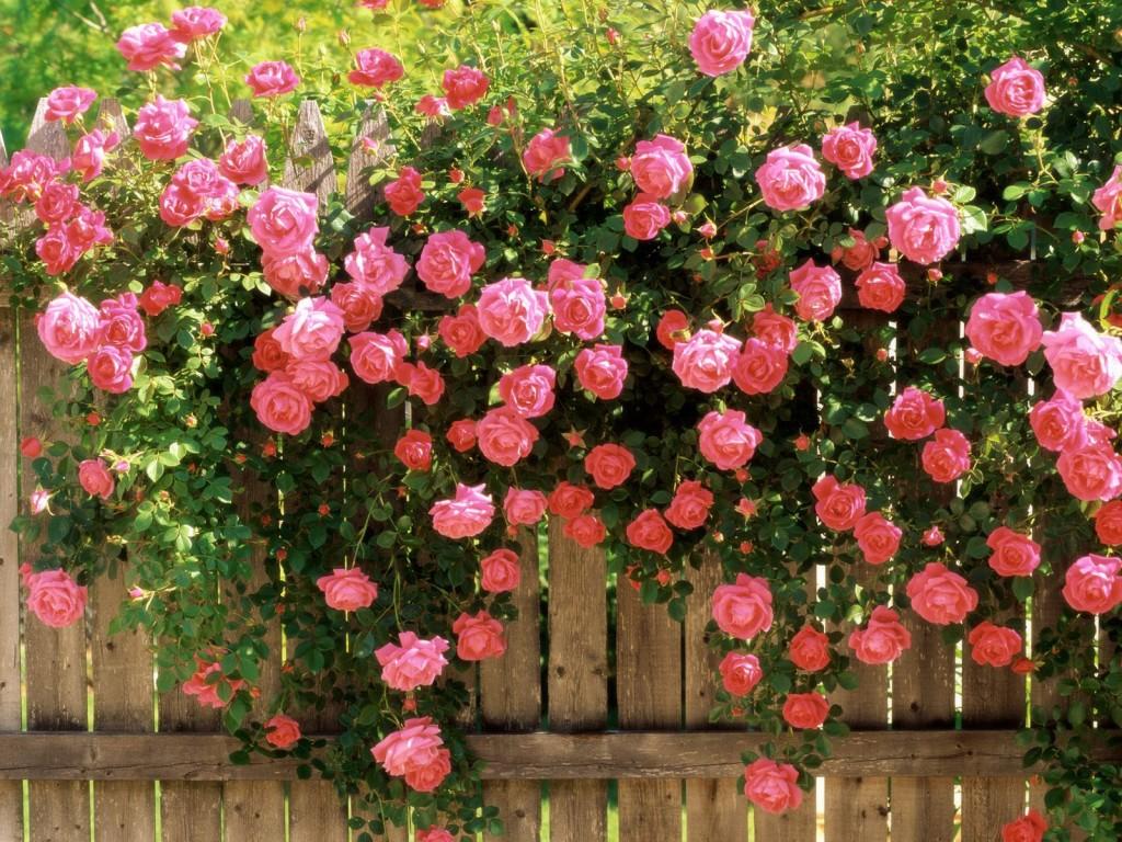 Bộ hình nền hoa hồng leo kiêu sa cho máy tính- Hình 10